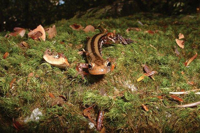 3-lined-salamander_Linville-Gorges-Sept-06-025.jpg