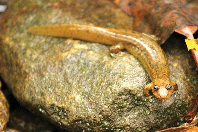 20201012_IMG_4438_Blackbelly-salamander_CallowayHouse.jpg