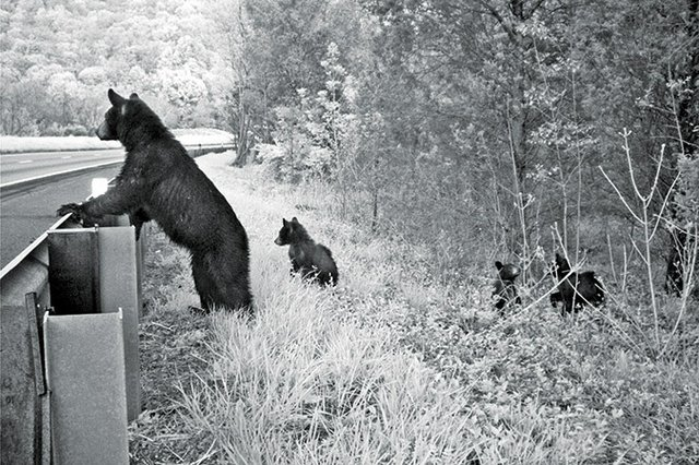Bears-at-guardrail_Bridget-Donaldson-Virginia-Transportation-Research-Council.jpg