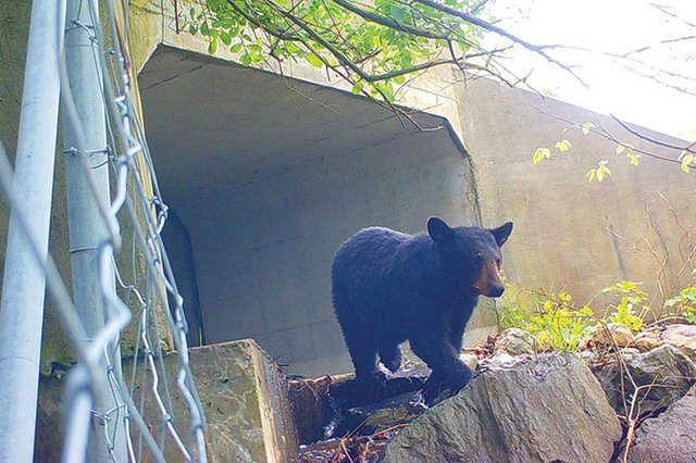 Black-bear-at-culvert-under-I-26_National-Parks-Conservation-Association.jpg