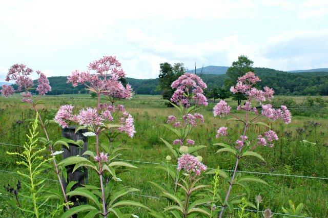 SK Wild Medicinal Plants Joe Pye Weed.jpg