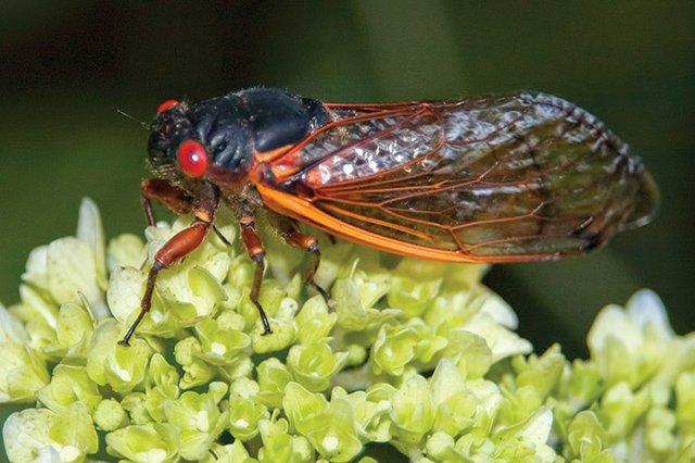 Cicadas---AdobeStock_230877387.jpg