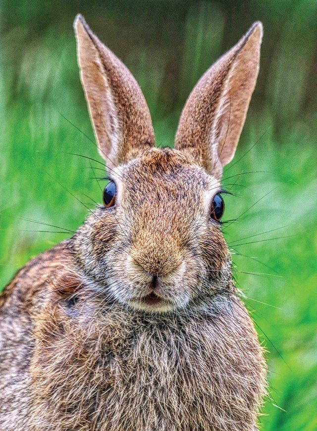 rabbit-washington-county-TN.jpg