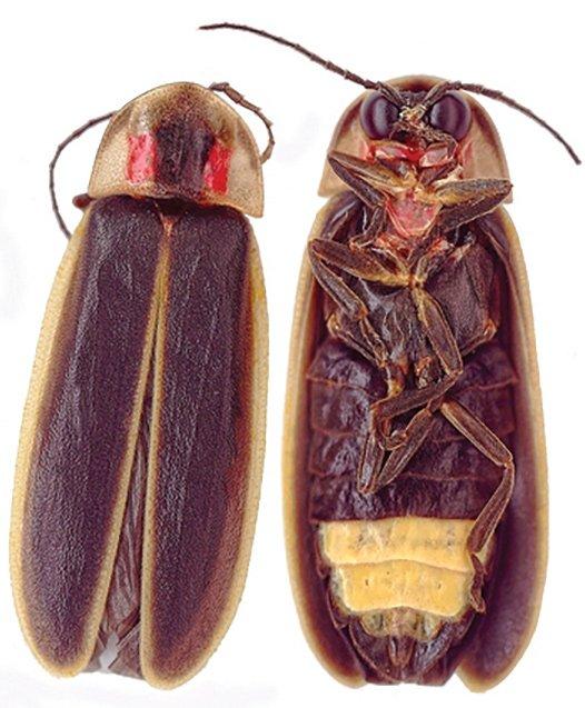 PhotinusCarolinus-wikimedia.jpg