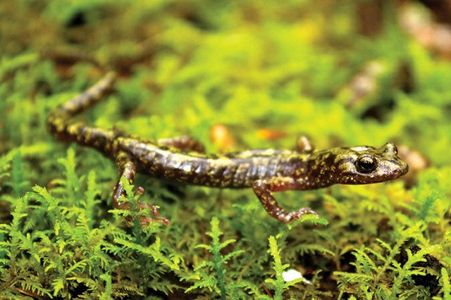 Green_salamander-Aneides-aeneus_wikipedia.jpg