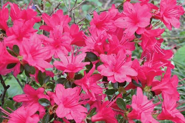 azaleasGAflower.jpg