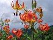 Turk's Cap lilies